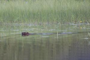 canadian voyageurs beaver