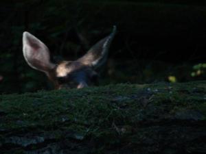 canadian voyageurs peek a boo deer