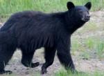 MywildBear – A Wild Black Bear Visits the Off GridCabin