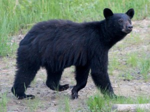 Black bears can be in seen Canada's remote wilderness areas.