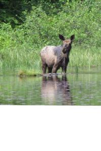 levacas moose in water